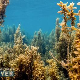 sargassum fields